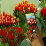 Tulipany z wystawy były chętnie fotografowane przez miłośników roślin