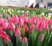 Tulip Trade Event to dni otwarte firm holenderskich polegające na prezentacji odmian tulipana oferowanych profesjonalnym ogrodnikom (na 1. planie - odm. 'Barre Alta' z gruoy Triumph), fot. A. Cecot