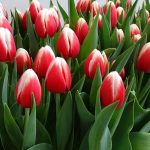 Tulipan 'Energy4All' z gr. Triumph (hodowla - Remarkable Tulips)
