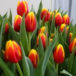 Tulipan 'Ready' (hodowla - Remarkable Tulips)