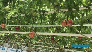 Rozpoczęły się zbiory pomidorów malinowych Katy Rose F1 z uprawy niedoświetlanej