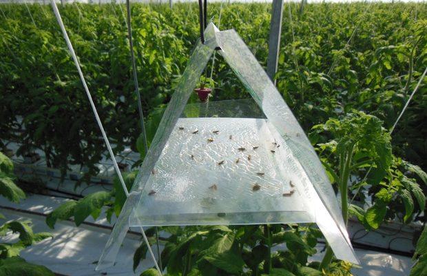 Pułapka feromonowa do odławiania motyli skośnika pomidorowego