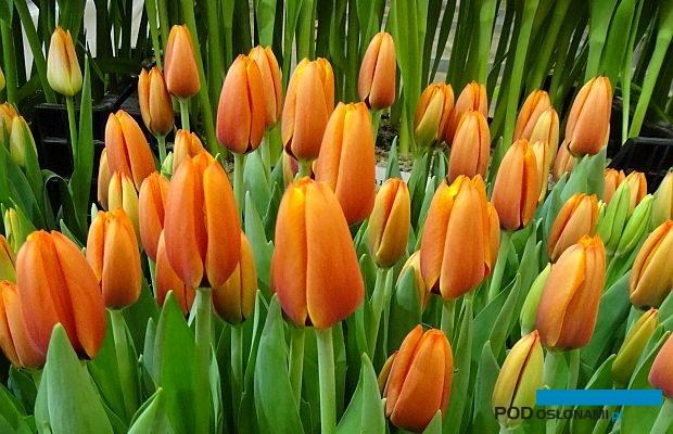 Tulipan 'Triple A' z grupy Triumph (z prezentacji firmy Haakman Flowerbulbs) - jedna z setek odmian pokazanych podczas tegorocznych dni otwartych pod nazwą Tulip Trade Event, fot. A. Cecot