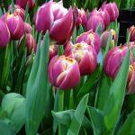 Tulipa_Columbus_Pełne wczesne