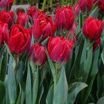 Tulipa_Honesty