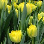 Tulipan 'Homerun' z grupy Pełne wczesne