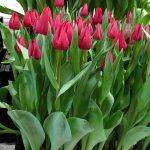 Tulipan 'Curry' z grupy Triumph (prezentacja firmy Haakman Flowerbulbs