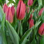 Tulipa_Red-Gold_Triumph