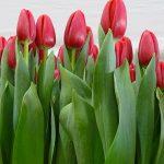 Tulipa_Surrender_Triumph