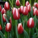 Tulipan 'Timeless' z grupy Triumph
