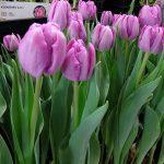 Tulipa_Kickstart_Pelne-wczesne