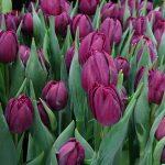 Tulipa_Alison-Bradley_Pelne