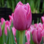 Tulipa_Anaconda_Pojedyncze pozne_VWS