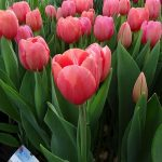 Tulipa_AcePink_Triumph_VWS_