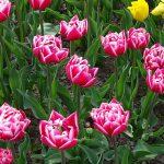 Tulipan_'Columbus' (gr. Pełne wczesne)