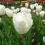 Tulipan 'White Dynasty'_SGGW_2018