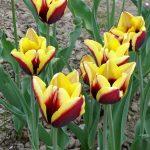 Tulipa 'Gavota' (gr. Triumph)