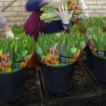 """Morawscy_Tulipany przygotowane do spedycji (i sprzedaży sieciowej), w rękawach z napisem """"Polskie kwiaty"""""""
