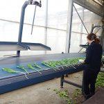 Morawscy_tulipany_Środkowa część linii do obrobki kwiatow tulipana - pędy z odciętymi cebulami przesuwają się wzdłuż transportera taśmowego (będą automatycznie wiązane w pęczki)