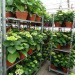 Kulisiewicz_Hortensja_Właściciele dodatkowo uprawiają hortesję ogrodową - z półproduktów sprowadzanych z Francji