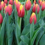 Tulipa_Hennie-van-der-Most_Triumph