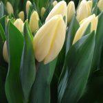 Tulipa_CremeFraiche_Triumph
