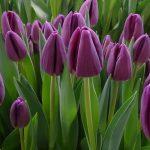 Tulipan 'Bullit' z grupy Triumph