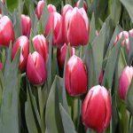 Tulipa_Lech-Walesa