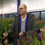 Pieter Teeuwen z firmy P. Nelis & Zoon's prezentuje tulipan 'Neper' z gr. Triumph
