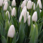 Tulipa_Update_Triumph