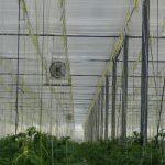 W starszych szklarniach w miesiącach zimowych również w Holandii używa się kurtyn z folii perforowanej, kurtyny, podwieszki z folii, uprawa pomidorów
