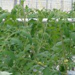 Dodatkowe pędy wyprowadzane są na początku uprawy (luty 2018 r.)