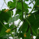 Rośliny nie zrzucają zawiązków owocowych, ogórek Qiuntus