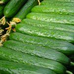 Ciemnozielone owoce mają cechy pożądane na rynku, ogórek Quintus F1