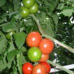 Pomidor Beef Bang F1 w uprawie na standardowej podkładce