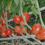 Pomidor Beef Bang F1 w uprawie na standardowej podkładcePomidor Beef Bang F1 w uprawie na standardowej podkładce