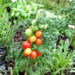Ogrody Daisy_Pszczyna_Daisy-Days-2018_Pomidor_ekspozycja-Hajdrowski_