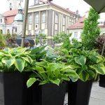 Funkie z ogrodu przygotowanego przez szkółkę Milczyńscy_Daisy Days 2018