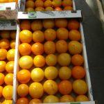 Pomarańczowy, wielkoowocowy pomidor z firmy Enza Zaden (jeszcze pod numerem)