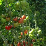 Pomidor odmiany Kanavaro F1 Pomidor odmiany Milaneza F1