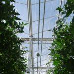 Uprawa pomidorów jest doświetlana w miesiącach o małym natężeniu światła, używane są lampy z firmy Hortilux