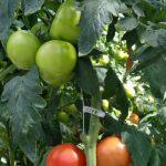 Pomidory hodowli firmy Enza Zaden w szklarniach firmy Agrokultura, Milaneza F1