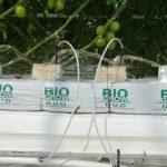 W szklarniach w Solnecznodolsku uprawa pomidorów prowadzona jest w podłożu kokosowym - m.in. z firmy BioGrow