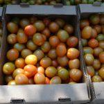 Pomidory odmiany Savantas F1 z uprawy w firmie Ekokultura