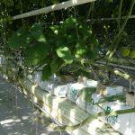 W szklarniach z uprawą pomidorów na niektórych rzędach umieszczono rośliny oberżyny - pełnią funkcję roślin wskaźnikowych, które będą zasiedlane przez szkodniki w pierwszej kolejności