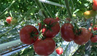Pomidor malinowy Fujimaru F1