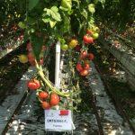 Nowa odmiana pomidora malinowego - Fujimaru F1