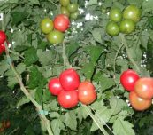 Pomidor malinowy Katy Rose F1 w uprawie na podkładce Defensor F1