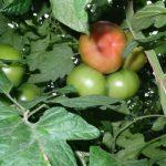 Pomidor malinowy Katy Rose F1 w uprawie na standardowej podkłace