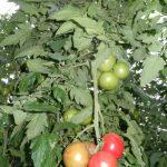 Pomidor malinowy Katy Rose F1 w uprawie na podkładce Protector F1